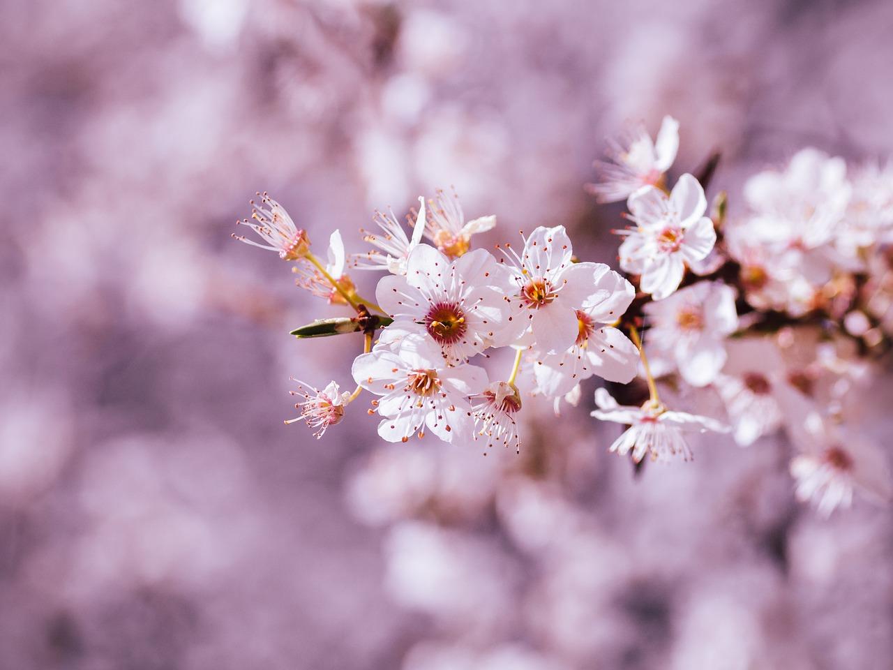 Sakura çiçeği nedir? Japon çiçeği sakur özellikleri nelerdir? Çam ve Sakura Hastanesi!
